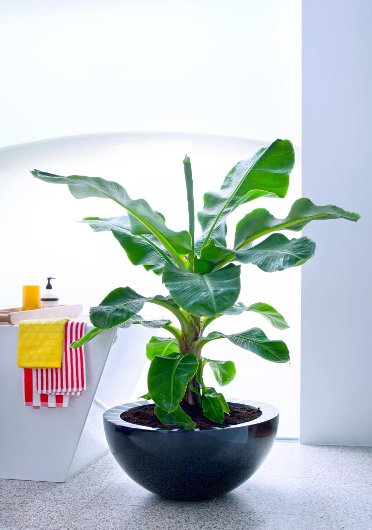 Verliefd op de bananenplant. Jij ook?