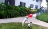 Twee Franse Bulldogjes spelen met een ballon