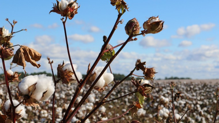 cotton field-min