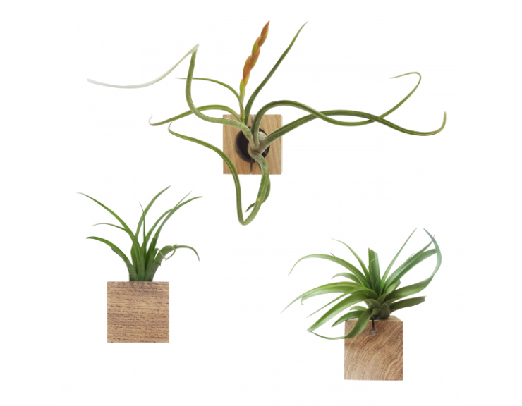 Liefde voor Tillandia's a.k.a air plants