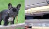 Puppy in vliegtuig overleden omdat stewardess eigenaren dwong hem in de bagagebakken te plaatsen